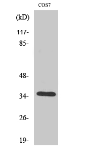 Fig. Western Blot analysis of various cells using Olfactory receptor 52E1 Polyclonal Antibody.