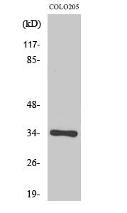 Fig. Western Blot analysis of various cells using Olfactory receptor 56B4 Polyclonal Antibody.