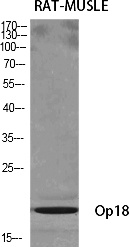 Fig.1. Western Blot analysis of various cells using Op18 Polyclonal Antibody diluted at 1:500.