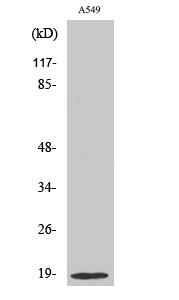 Fig.2. Western Blot analysis of HepG2 cells using Op18 Polyclonal Antibody.