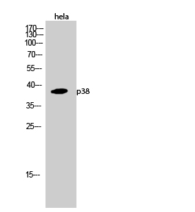 Fig.2. Western Blot analysis of hela cells using p38 Polyclonal Antibody diluted at 1:1000.