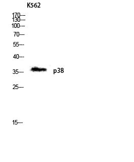 Fig.5. Western blot analysis of K562 lysis using p38 antibody. Antibody was diluted at 1:1000.