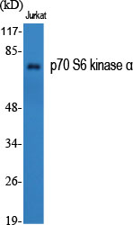 Fig.1. Western Blot analysis of various cells using p70 S6 kinase α Polyclonal Antibody diluted at 1:1000.