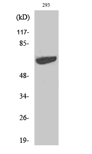 Fig.2. Western Blot analysis of 293 cells using p70 S6 kinase α Polyclonal Antibody diluted at 1:1000.
