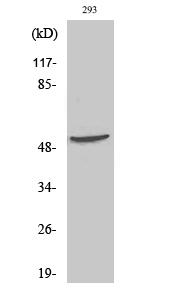 Fig.2. Western Blot analysis of 293 cells using p70 S6 kinase β Polyclonal Antibody.