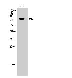 Fig.2. Western Blot analysis of 3T3 cells using PAK5 Polyclonal Antibody.