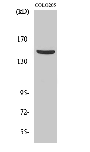 Fig. Western Blot analysis of various cells using PARD3A Polyclonal Antibody.