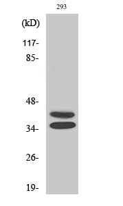 Fig. Western Blot analysis of various cells using Pax-2 Polyclonal Antibody.