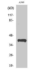 Fig. Western Blot analysis of various cells using Peroxin 14 Polyclonal Antibody.
