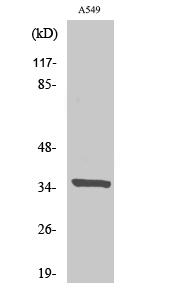 Fig. Western Blot analysis of various cells using Peroxin 2 Polyclonal Antibody.