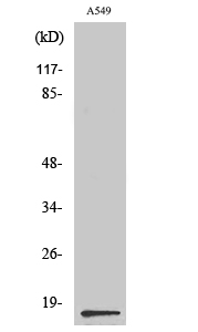 Fig. Western Blot analysis of various cells using PGE synthase Polyclonal Antibody diluted at 1:500.
