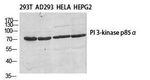 Fig.1. Western Blot analysis of various cells using PI 3-kinase p85β Polyclonal Antibody diluted at 1:500.