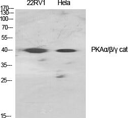 Fig.1. Western Blot analysis of various cells using PKAα/β/γ cat Polyclonal Antibody diluted at 1:1000.