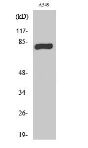 Fig. Western Blot analysis of various cells using PKC γ Polyclonal Antibody.