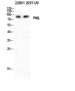 Fig.1. Western Blot analysis of various cells using PML Polyclonal Antibody diluted at 1:1000.