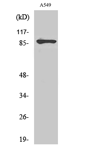 Fig.2. Western Blot analysis of A549 cells using PML Polyclonal Antibody diluted at 1:1000.
