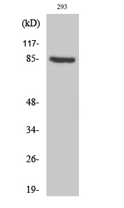 Fig. Western Blot analysis of various cells using PNPase Polyclonal Antibody diluted at 1:1000.
