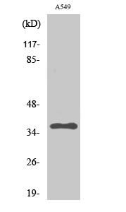 Fig.2. Western Blot analysis of A549 cells using PP2A-Cα Polyclonal Antibody diluted at 1:2000.