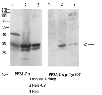 Fig.3. Western Blot analysis of various cells using Antibody diluted at 1:1000. Secondary antibody (catalog#: A21020) was diluted at 1:20000.