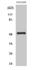 Fig. Western Blot analysis of various cells using PPP4R1L Polyclonal Antibody.