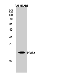 Fig.2. Western Blot analysis of RAT-HEART cells using PRAF2 Polyclonal Antibody diluted at 1:2000.