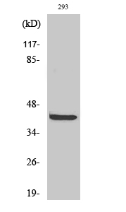 Fig. Western Blot analysis of various cells using PRAS40 Polyclonal Antibody.
