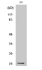 Fig. Western Blot analysis of various cells using Probetacellulin Polyclonal Antibody diluted at 1:1000.