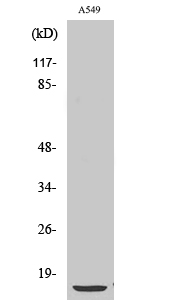 Fig. Western Blot analysis of various cells using PTH Polyclonal Antibody.