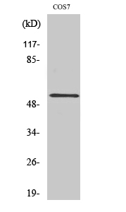 Fig. Western Blot analysis of various cells using PTP1B Polyclonal Antibody diluted at 1:500.