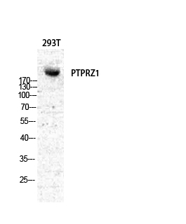 Fig.1. Western Blot analysis of various cells using PTPζ Polyclonal Antibody diluted at 1:500.