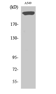 Fig.2. Western Blot analysis of A549 cells using PTPζ Polyclonal Antibody diluted at 1:500.