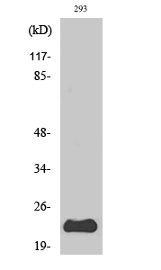 Fig. Western Blot analysis of various cells using PUMA Polyclonal Antibody.