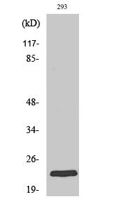 Fig. Western Blot analysis of various cells using Rab 35 Polyclonal Antibody.