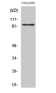 Fig.2. Western Blot analysis of COLO205 cells using Rap1GAP Polyclonal Antibody.