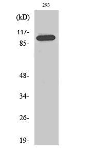 Fig. Western Blot analysis of various cells using Repo-Man Polyclonal Antibody diluted at 1:2000.