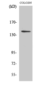 Fig. Western Blot analysis of various cells using RGAG1 Polyclonal Antibody.