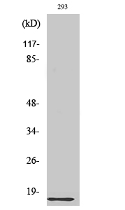 Fig. Western Blot analysis of various cells using Ribosomal Protein L35 Polyclonal Antibody diluted at 1:2000.