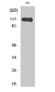 Fig.2. Western Blot analysis of 293 cells using M-RIP Polyclonal Antibody.