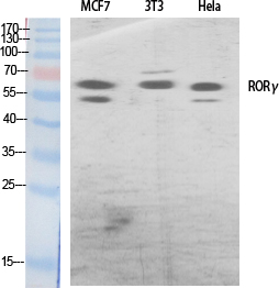 Fig. Western Blot analysis of various cells using RORγ Polyclonal Antibody diluted at 1:500.