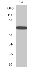 Fig. Western Blot analysis of various cells using RPAP2 Polyclonal Antibody.