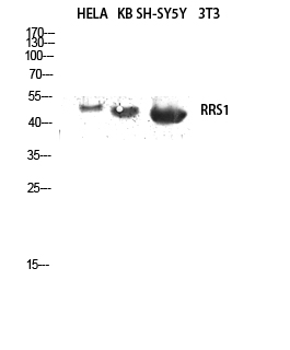 Fig.2. Western blot analysis of hela, KB, SH-SY5Y lysates using RRS1 antibody. Antibody was diluted at 1:2000.