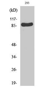 Fig. Western Blot analysis of various cells using Rsk-1 Polyclonal Antibody.