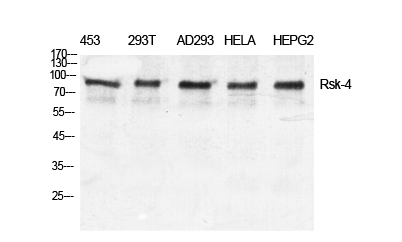 Fig. Western Blot analysis of various cells using Rsk-4 Polyclonal Antibody diluted at 1:500.