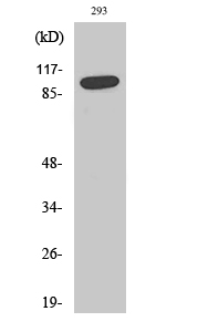 Fig. Western Blot analysis of various cells using SAPAP1 Polyclonal Antibody.