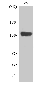 Fig. Western Blot analysis of various cells using SCAF1 Polyclonal Antibody diluted at 1:2000.