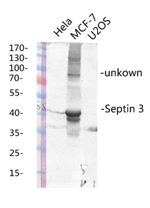 Fig.2. Western blot analysis of various lysis using Septin 3 Polyclonal Antibody diluted at 1:1000. Secondary antibody (catalog#: A21020) was diluted at 1:20000.