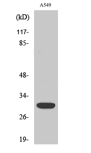 Fig.2. Western Blot analysis of hela cells using Siah-1/2 Polyclonal Antibody diluted at 1:500.
