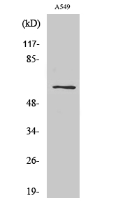 Fig. Western Blot analysis of various cells using SLC43A1 Polyclonal Antibody.