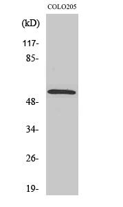 Fig. Western Blot analysis of various cells using Smad2 Polyclonal Antibody.