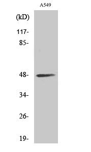 Fig. Western Blot analysis of various cells using sMtCK Polyclonal Antibody.